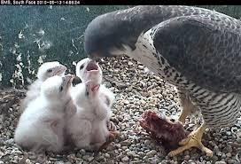 chciks feeding