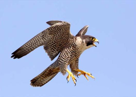 peregrine-falcon4