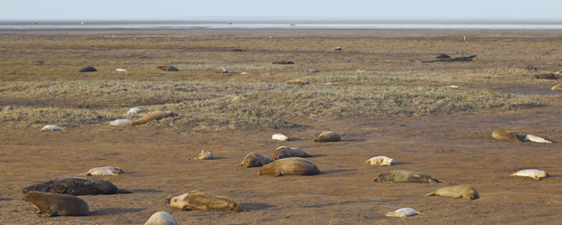 Donna Nook Grey Seal Colony Lincolnshire Uk